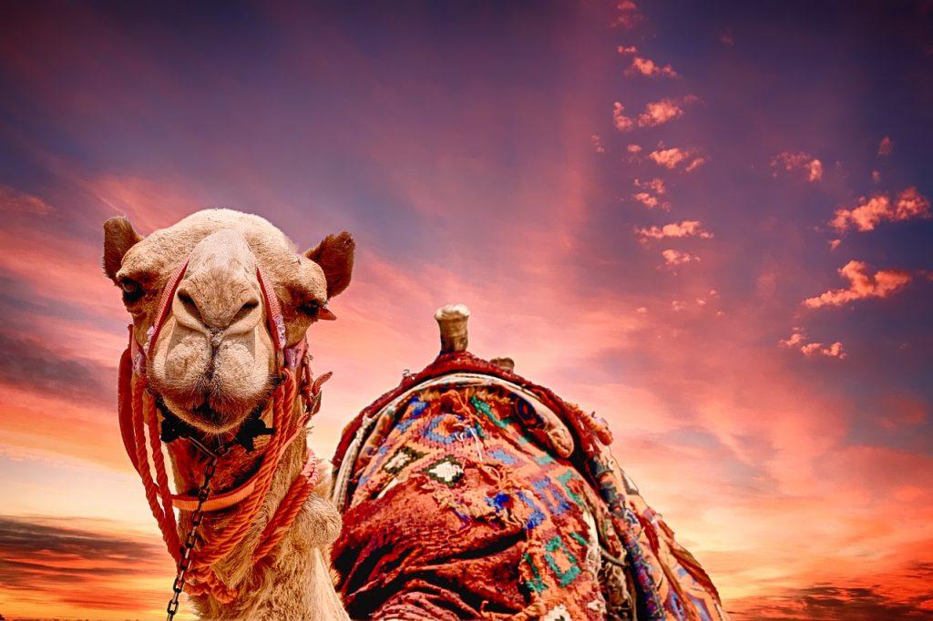 camel, sunset, landscape